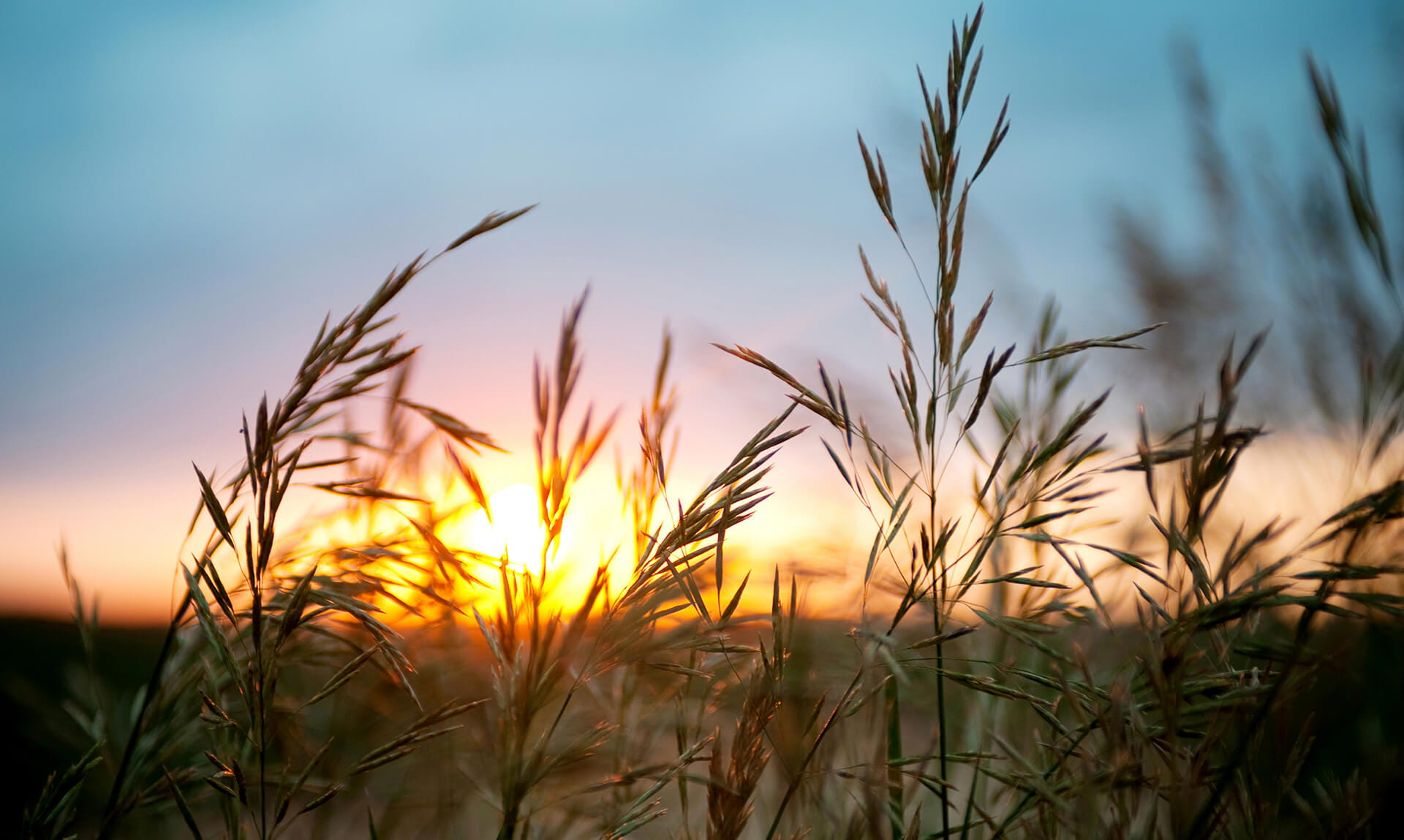 Close-up Wheat Sunset