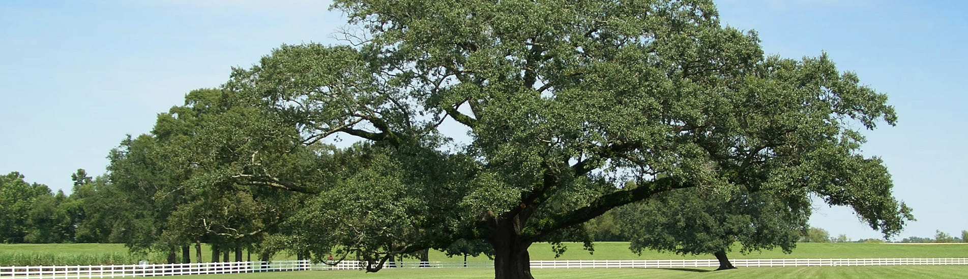 Second Opinion - Oak Tree