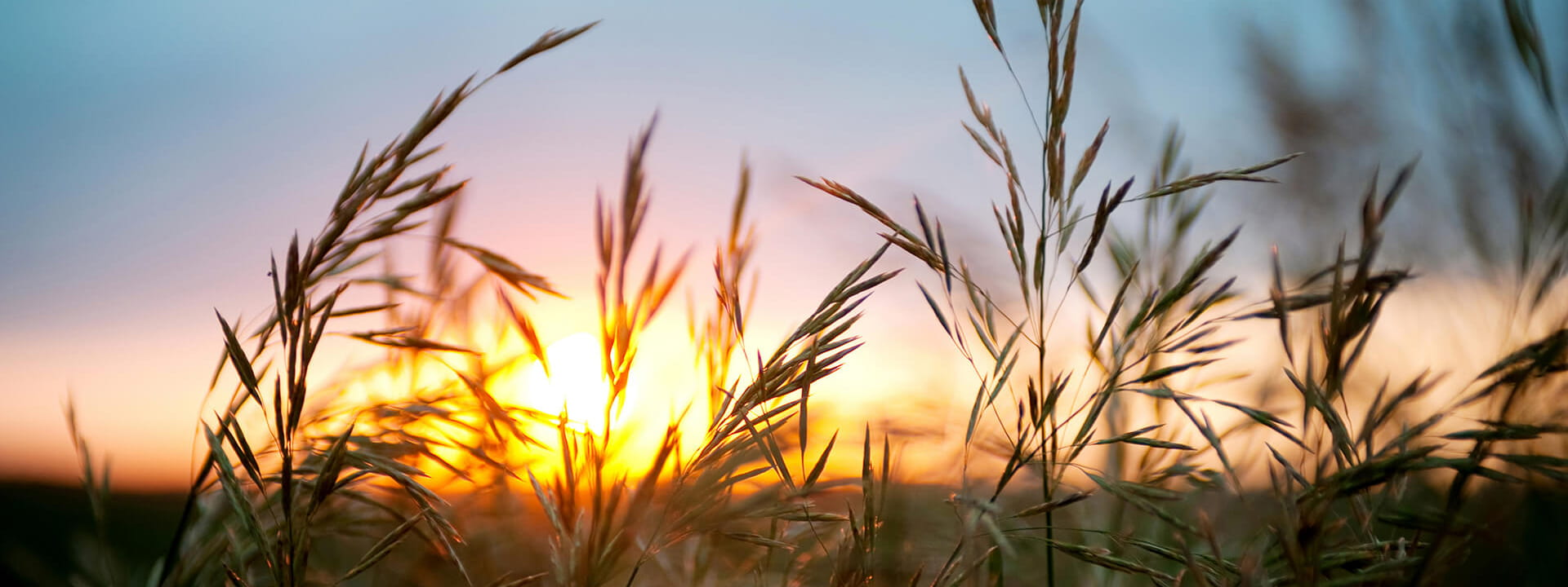 A close-up of wheat at sunset.